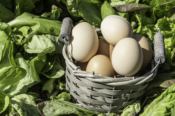 eggs basket in a field of insalad