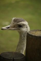 Straußvogel