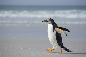 Gentoo penguin walking on the beach in hurry.