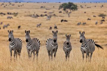 Aluminium Prints Zebra Zebras, Masai Mara, Kenya