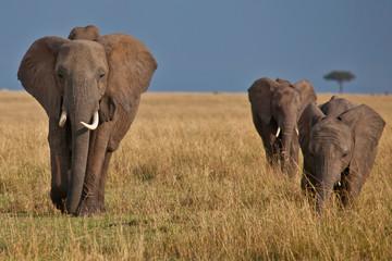 Elephants roaming across the Masai Mara, Kenya