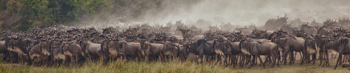 Canvas Prints Zebra A herd of wildebeest gathering at the Mara River waiting to cross, Masai Mara, Kenya