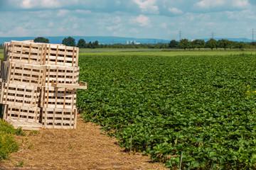 Erdbeeren Feld mit  Holzkisten zur Ernte