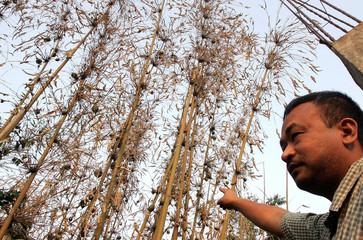 -PHOTO TAKEN 24APR05- An Indian man points towards bamboo plants bearing green fruits in Aizawl, cap..