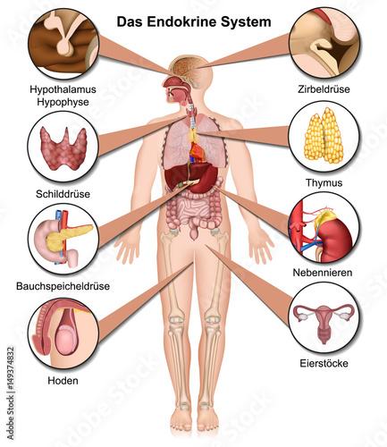Das endokrine System, vektor illustration mit Beschreibung in ...