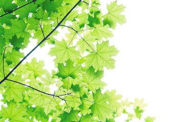 branch of the Maple tree isolated on white