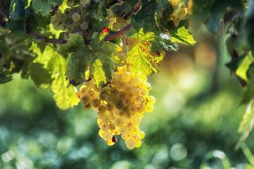 Włoskie winogrona