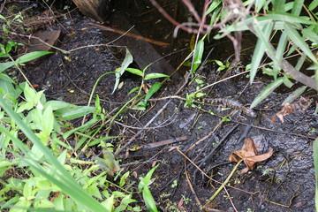 Baby alligators in the Florida Everglades
