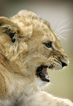 Three month old lion cub Nala roars at the 'Serengeti' Safari park in the northern German village of Hodenhagen
