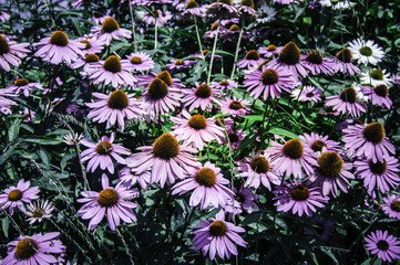 Field of Echinacea petals - Stock image
