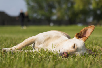 Dog sleep in green grass, keeping its ear up. Sunny spring day in park.