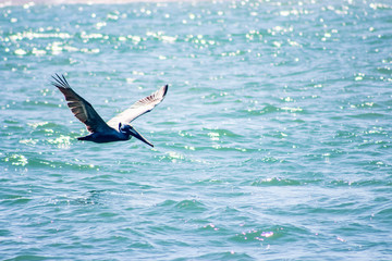 Gliding Pelican over the waves