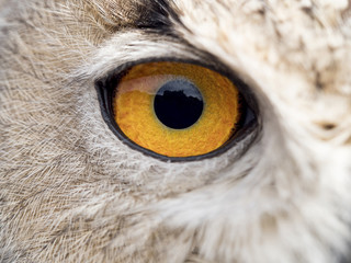 Detail of the eye of an owl (Bubo bubo)