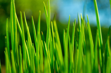 green grass close up in the garden in springtime with sunshine
