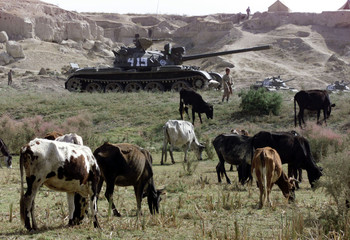 COWS GRAZE AT AFGHAN OPPOSITION ARMY BASE.