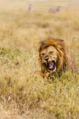 Lion fight in the long grass