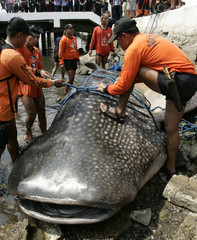 Members of the Philippine coastguard tie a nylon rope to drag a dead whale shark from the shoreline of the coastguard headquarters in Manila