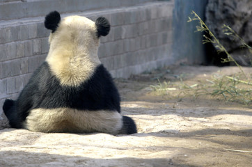 A giant panda sits n the Olympic Games Panda House at Beijing Zoo