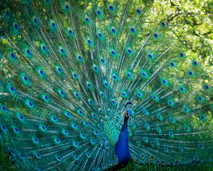 Portrait of a peacock with feathers spread.