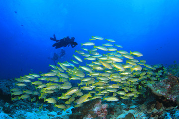 Scuba diver and school of fish in ocean