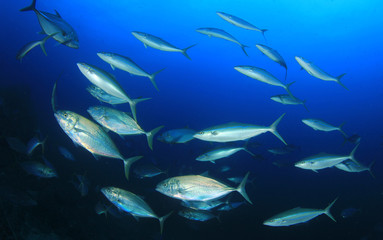 Fototapete - Tuna fish underwater