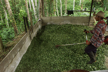 A PEASENT SHREDS HEAPS OF COCA LEAVES IN PUTMAYO PROVINCE.