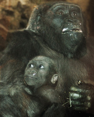 Gorillas Kimani and her mother Kiki look out from their pen at the Franklin Park Zoo in Boston