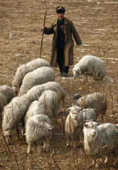 A shepherd watches over his flock of goats and sheep on a drought-ridden field near the village of Houyan, located south of Beijing