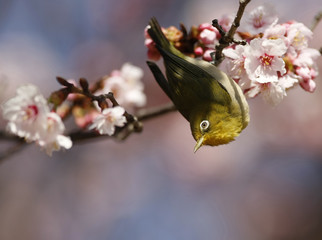 A Japanese white-eye perches on a branch of a cherry blossom tree at Shinjuku Gyoen National Garden in Tokyo