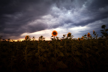 Sunset Storm over the Sunflower Fields