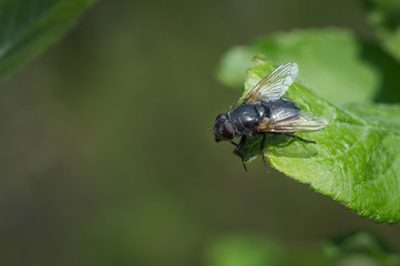 Macro fly on a green leaf