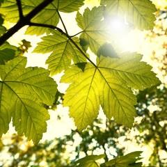 Blätter eines Ahorn im Frühling bei strahlendem Sonnenschein