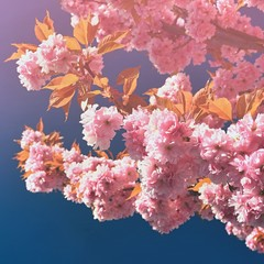 Springtime. Beautiful blossom tree. Nature scene with sun in Sunny day. Spring flowers and abstract blurred background In the month of May.