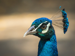 Image of a peacock head on nature background. wild animals.