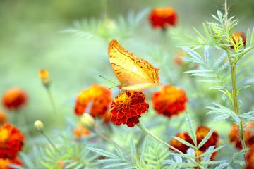 Butterfly the garden