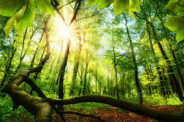 Wall Mural - Green beech forest with bright beautiful sun beams, framed by foreground foliage and a fallen tree trunk