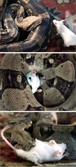 - COMBO PICTURE - showing a snake swallowing a mouse at [Jordanian Mohammed al-Refaa's shouse near A..