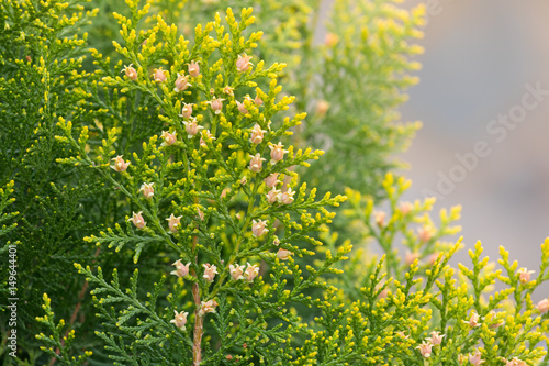 Bright yellow and pink flowers of pine trees in sunny day stock bright yellow and pink flowers of pine trees in sunny day mightylinksfo