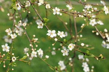 Flowering fruit tree in spring/ many blooming flowers and leaves on the branches