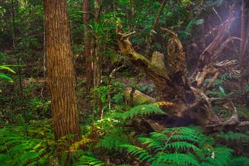 Boombana Rainforest Mt Nebo Brisbane Queensland Australia