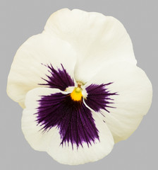 Foto auf Acrylglas Stiefmutterchen Purple white pansy flowers isolated on gray background.