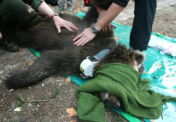 Slovene and French veterinarians examine a tranquilized female bear in Masun
