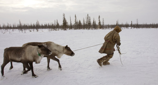 A Nenets man leads reindeers at his settlement in the Tundra region near village of Yar-Sale, located in the Yamal peninsula above the polar circle