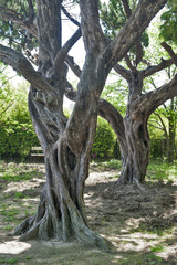 Old trees grow in the garden