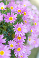 Aster cordifolius - pink flowers during blossom season in botanic garden