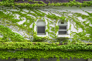 House wall and windows covered by climbing and creeping green ivy