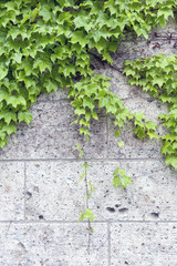 Ivy or Hedera creeping on wall