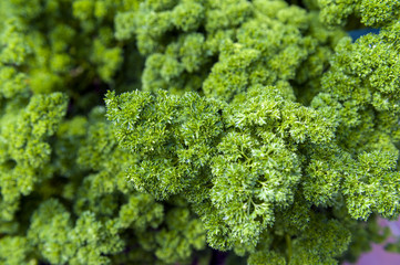 Full frame close-up fresh curly parsley leaves in garden