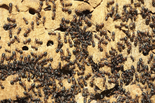 Ant colony on an old tree close up