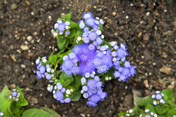 Blue mistflower (Conoclinium coelestinum) or purple blue Ageratum flower plant growing on ground